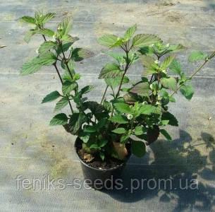 Семена Липпия - слаще Стевии