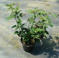 ЛИППИЯ - СЛАЩЕ СТЕВИИ (Lippia dulcis), фото 1