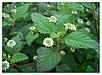 Семена Липпия - слаще Стевии, фото 3