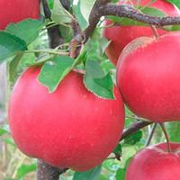 Саженцы яблони Богемия (зима)