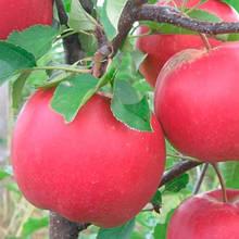 Саджанці яблуні Богемія (зима)