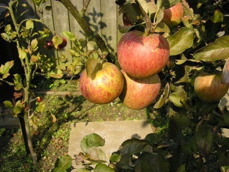Саженцы яблони Кидс Оранж Ред (осень)