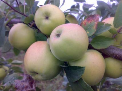 Саженцы яблони Ревена (зима)