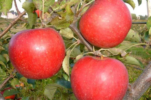 Саженцы яблони Рубинола (зима)