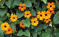 ТУНБЕРГИЯ КРЫЛАТАЯ (Thunbergia alata), фото 1