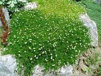 "ИРЛАНДСКИЙ МОХ ""Sagina Subulata"" Irish Moss, фото 1"