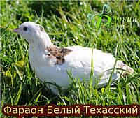 Техасский альбинос (бройлер)