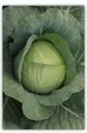 Семена капусты белокочанной средней Кубок F1, Clause (Франция), упаковка 2500 семян