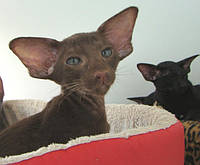Стильные ориентальные котята
