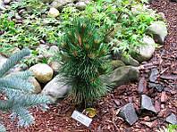 Pinus nigra Black Prince