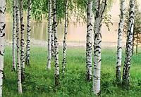 Фотообои бумажные на стену 366х254 см 8 листов: природа, Березовая роща №290