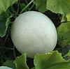 МИРА F1 (KS 7037 F1) - семена дыни тип Honey Dew, 1 000 семян, Kitano Seeds