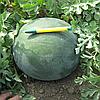 ДОНОВАН F1 - семена арбуза бессемянного, 500 семян семян, Hazera