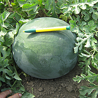 ДОНОВАН F1 - семена арбуза бессемянного, 500 семян семян, Hazera, фото 1