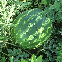 КРИМСОН СВИТ - семена арбуза, 500 грамм, Hazera, фото 1