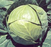 БАЛБРО F1 - семена капусты белокочанной калиброванные, 2 500 семян, Hazera, фото 1
