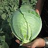 БУЗОНИ F1 - семена капусты белокочанной калиброванные, 2 500 семян, Hazera