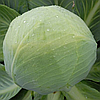 ЗОЛТАН F1 (NiZ 17-1265) - семена капусты белокочанной калиброванные, 2 500 семян, Hazera