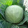МАГНУС F1 - насіння капусти білоголової, 2 500 насіння, Hazera