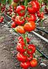 Томат индетерминантный Лилос F 100 семян, Rijk Zwaan
