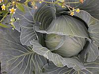 Капуста Агрессор F1 семена гибрида капусты  для хранения и переработки