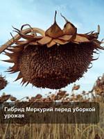 Меркурий семена подсолнечника
