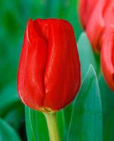 Луковицы тюльпанов для зимней выгонки ящиком