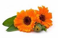 Семена цветов Календула оранжевая красавица, пакет 10х15 см
