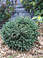 Ель канадская Эхиниформис (Picea glauca Echiniformis), фото 1