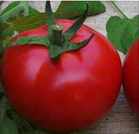 САРГАС F1 - семена томата детерминантного, 1 000 семян, Yuksel Seeds, фото 1