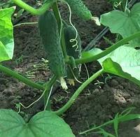 ЛЮТОЯР F1 - семена огурца партенокарпического, 500 семян, Yuksel Seeds, фото 1