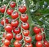 АРОМА F1 - семена томата индетерминантого, 100 семян, Yuksel Seeds