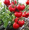 ЛЕДА F1 - семена томата полудетерминантного, 500 семян, Yuksel Seeds