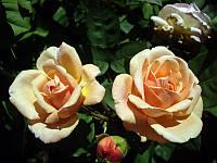 Роза  Леандр (Leander)