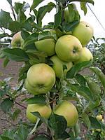 Плодовые деревья яблоня Мутсу