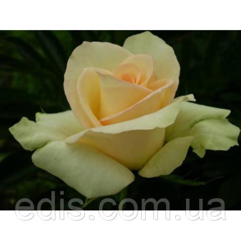 Троянда Ківі (Kiwi) чайно-гібридна, фото 2