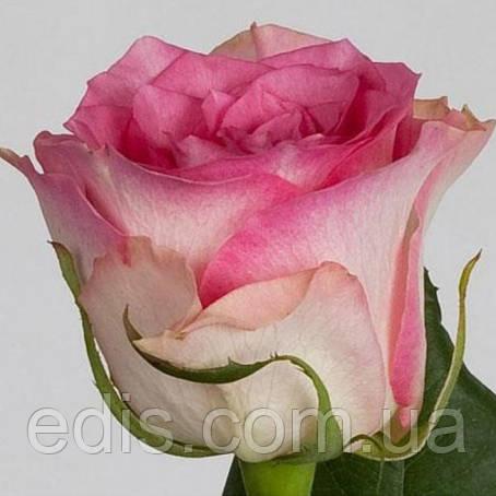 Роза Инджой (Enjoy) чайно-гибридная, фото 2