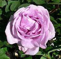Роза Блю Мун (Blue Moon) чайно-гибридная