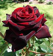 Роза Блек Мейджик (Black Magic) чайно-гибридная