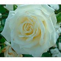 Роза Атена (Athena) чайно-гибридная