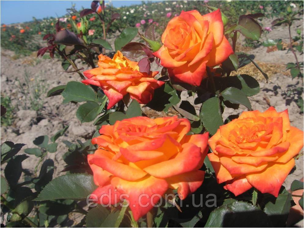 Троянда Моніка (Monika) чайно-гібридна