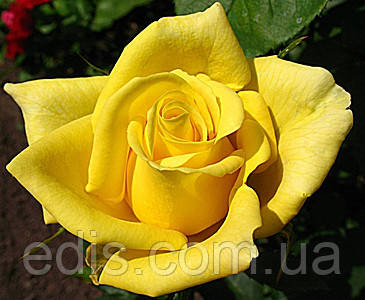 Роза Ландора (Landora) чайно-гибридная