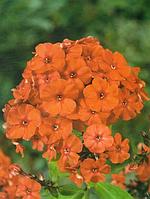 Флокс многолетний Orange Perfection  саженцы