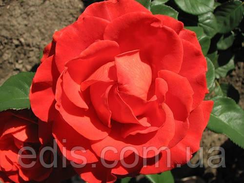 Роза Эльторо (El Toro) чайно-гибридная, фото 2