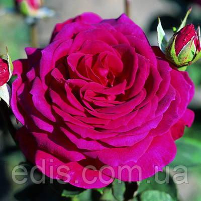 Роза Юрианда(Yrianda) чайно-гибридная, фото 2