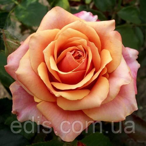 Роза Бирди (Birdy) чайно-гибридная