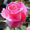 Роза Утро Парижа(Utro Parisa) чайно-гибридная