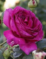 Роза чайно-гибридная Yrianda (Юрианда)