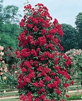 Роза вьющиеся Norita (Норита)