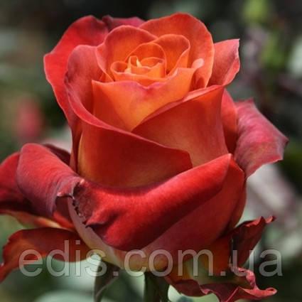 Троянда Кава Брейк (Coffe Break) чайно-гібридна